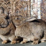 Rabbits Vs Guinea Pigs: Which is Better For Kids?