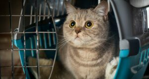 Tips for Taking Your Cat to the Vet- Crafting a Calm Cat